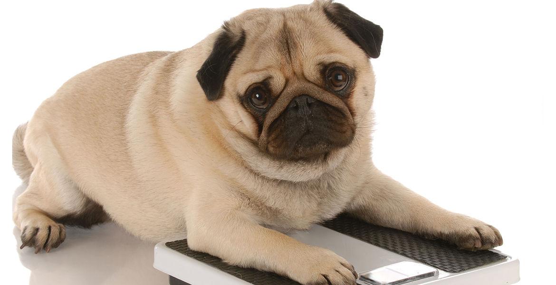 Kutyák elhízása